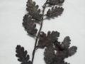 ramo di quercia (2)